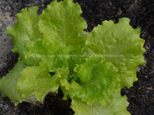 Healthy Leaf Lettuce - mlm c@