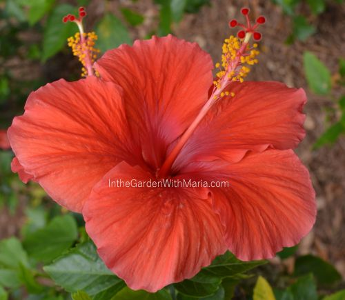 Orange Hibiscus - mlm c@