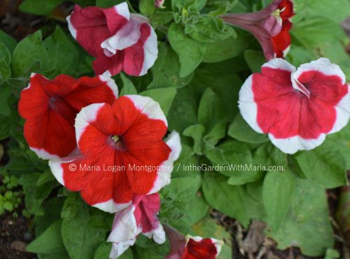 Petunias - Red-White mlm c@