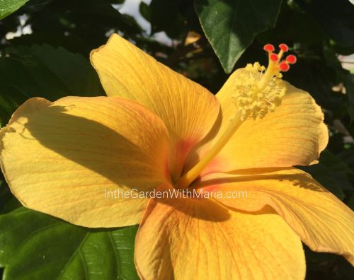 Yellow Hibiscus - mlm c@