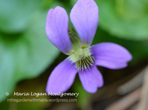 Wild Violets - mlm