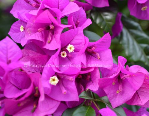 Bougainvillea - Becky's Purple - mlm c