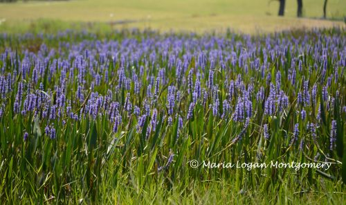 Purple Wetlands Flowers - mlm