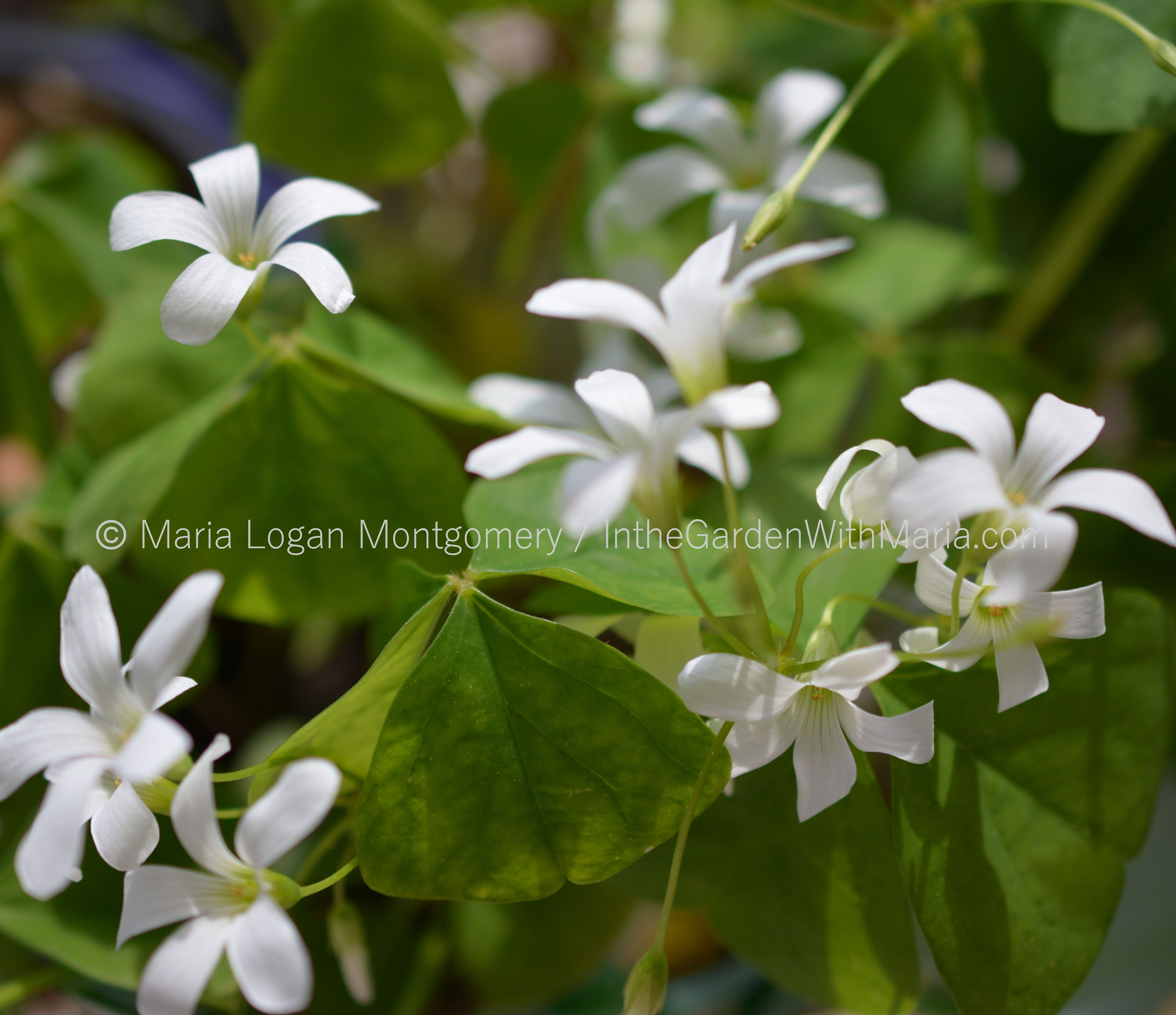 Lily of the nile in the garden with maria shamrock flowers mlm c dhlflorist Images