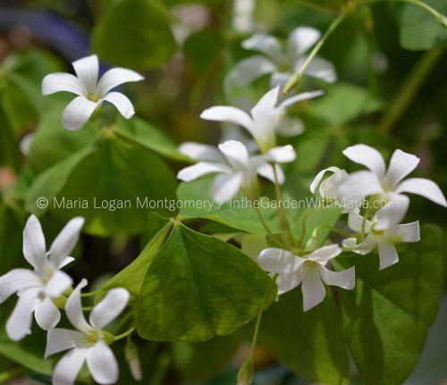 Shamrock Flowers - mlm c@