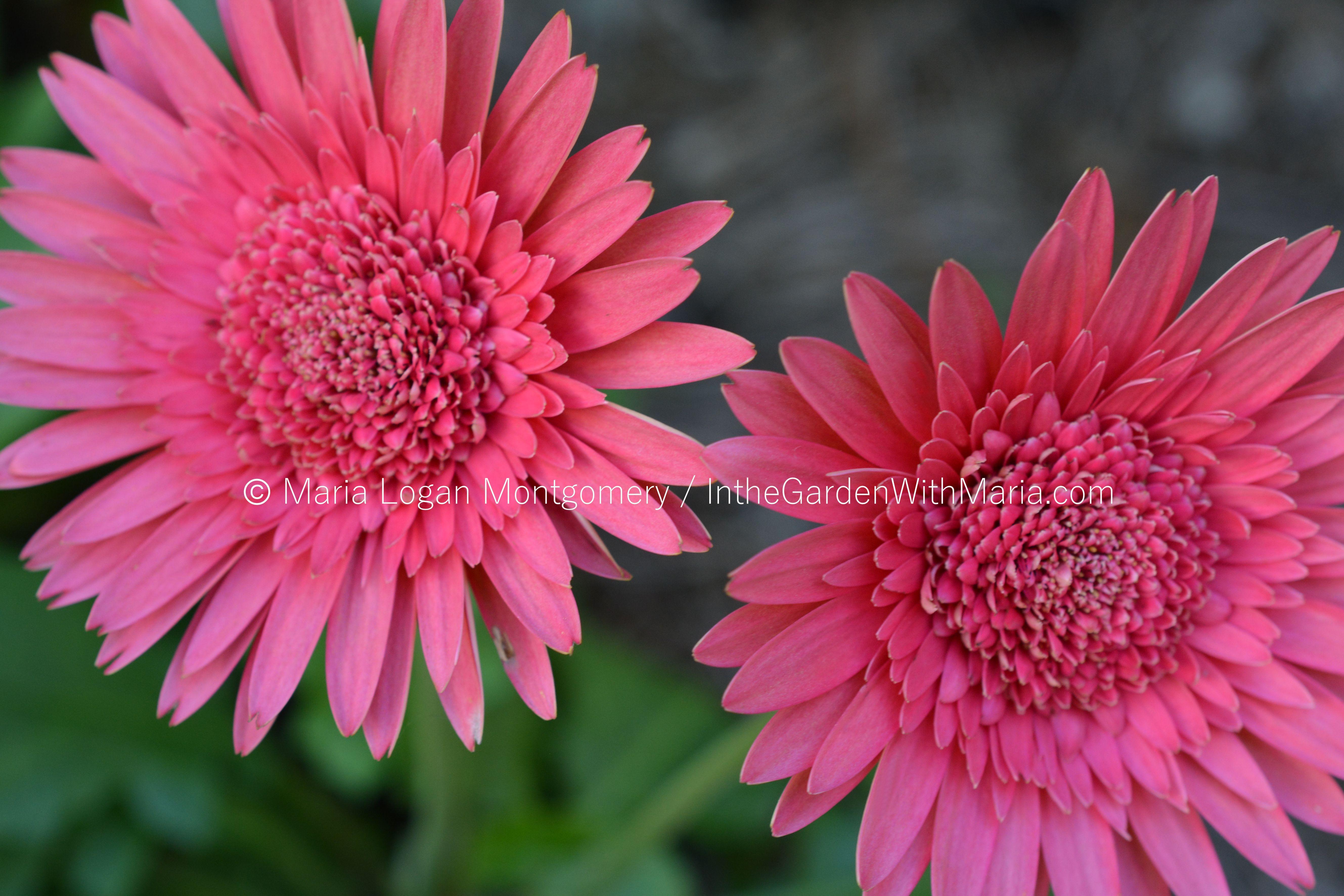 Gerbera daisies in the garden with maria gerbera daisy brt pink mlm c izmirmasajfo