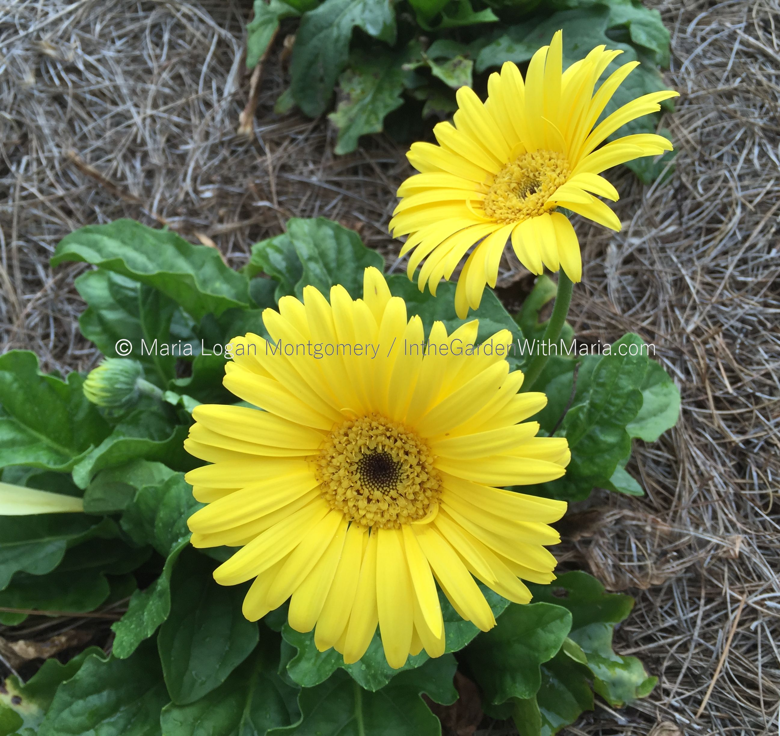 Double hibiscus in the garden with maria yellow gerbera daisies izmirmasajfo Image collections
