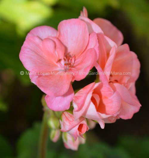 geranium-peach-mlm