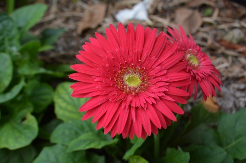 red-gerbera-new