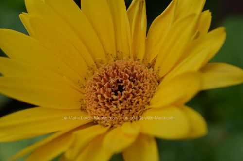 yellow-gerbera-close-mlm-c
