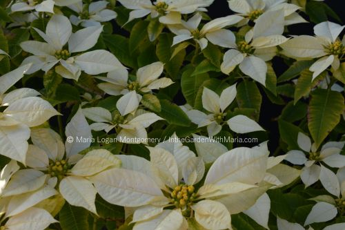 large-white-poinsettia-mlm-c
