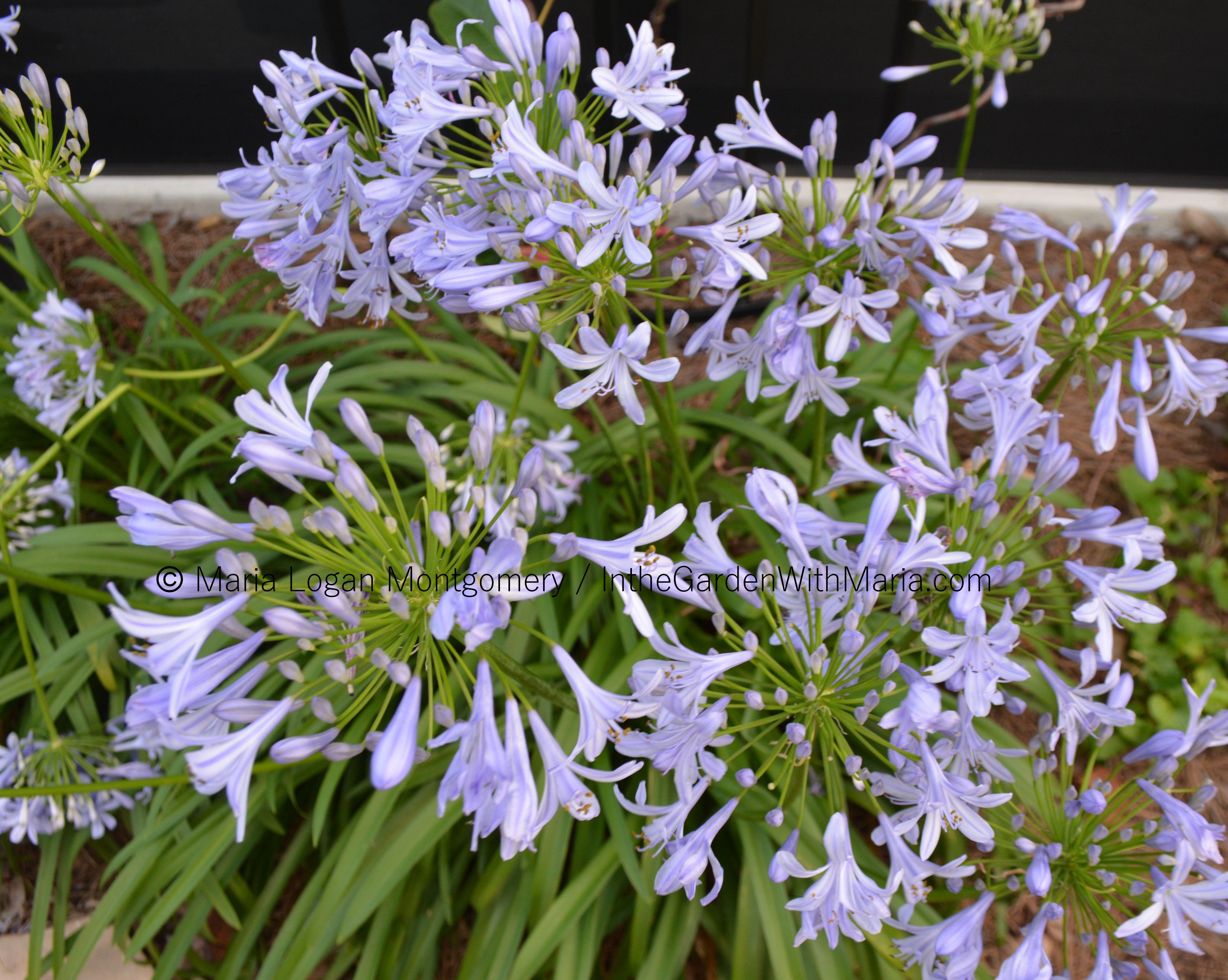 Flores púrpuras | En el jardín con Maria