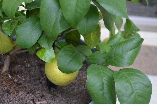 fall-2016-lemons