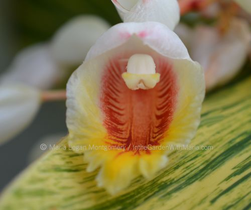 ginger-flower-mlm-c