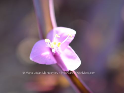 purple-wandering-jew-mlm-c