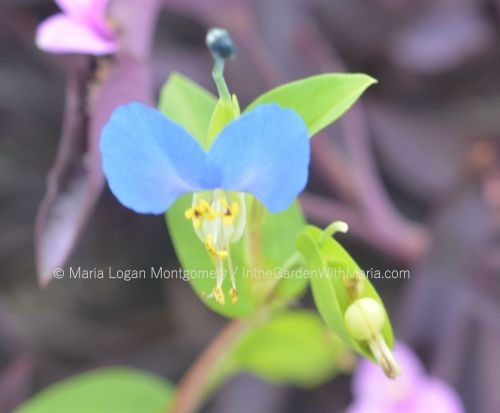 tiny-blue-flower-mlm-c