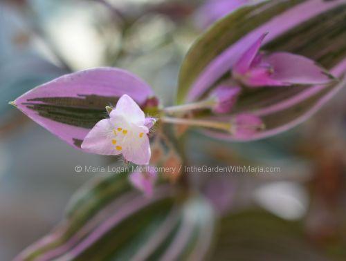 variegated-wandering-jew-mlm-c