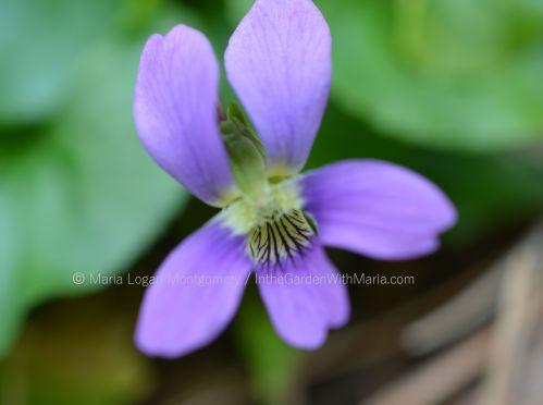 wild-violet-mlm-c