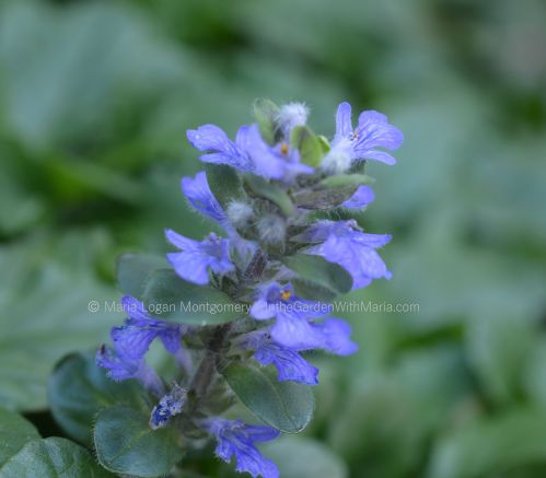 purple-ajuga-flower-mlm-c