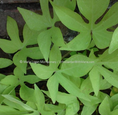 sweet-potato-vine-mlm-c