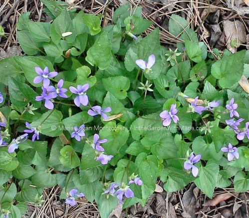 wild-violets-mlm-c
