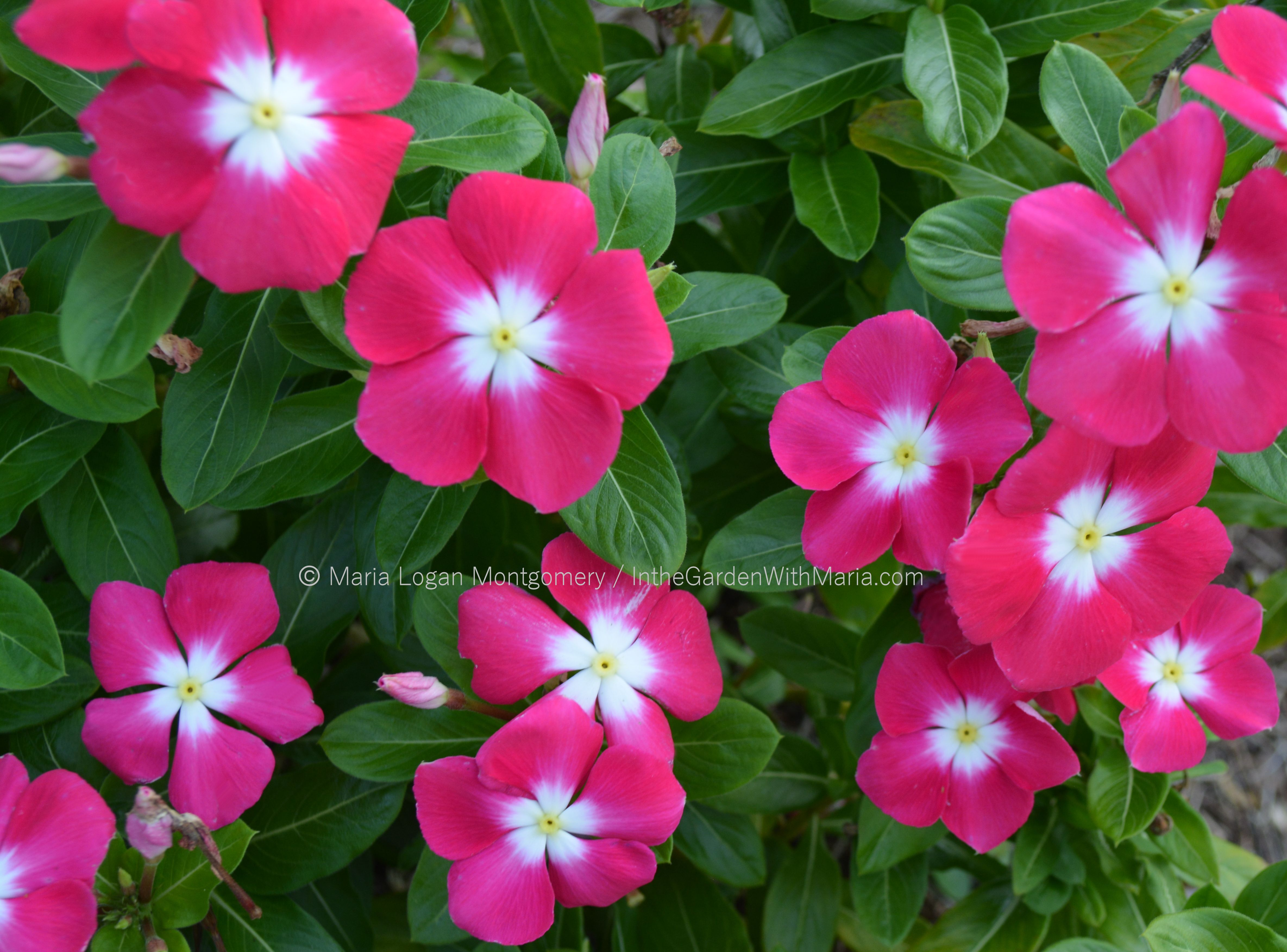 Vinca in the garden with maria vinca hot pink with white center izmirmasajfo Gallery