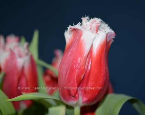 parrot-tulips-mlm-c