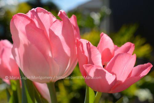 pink-tulips-1-mlm-c