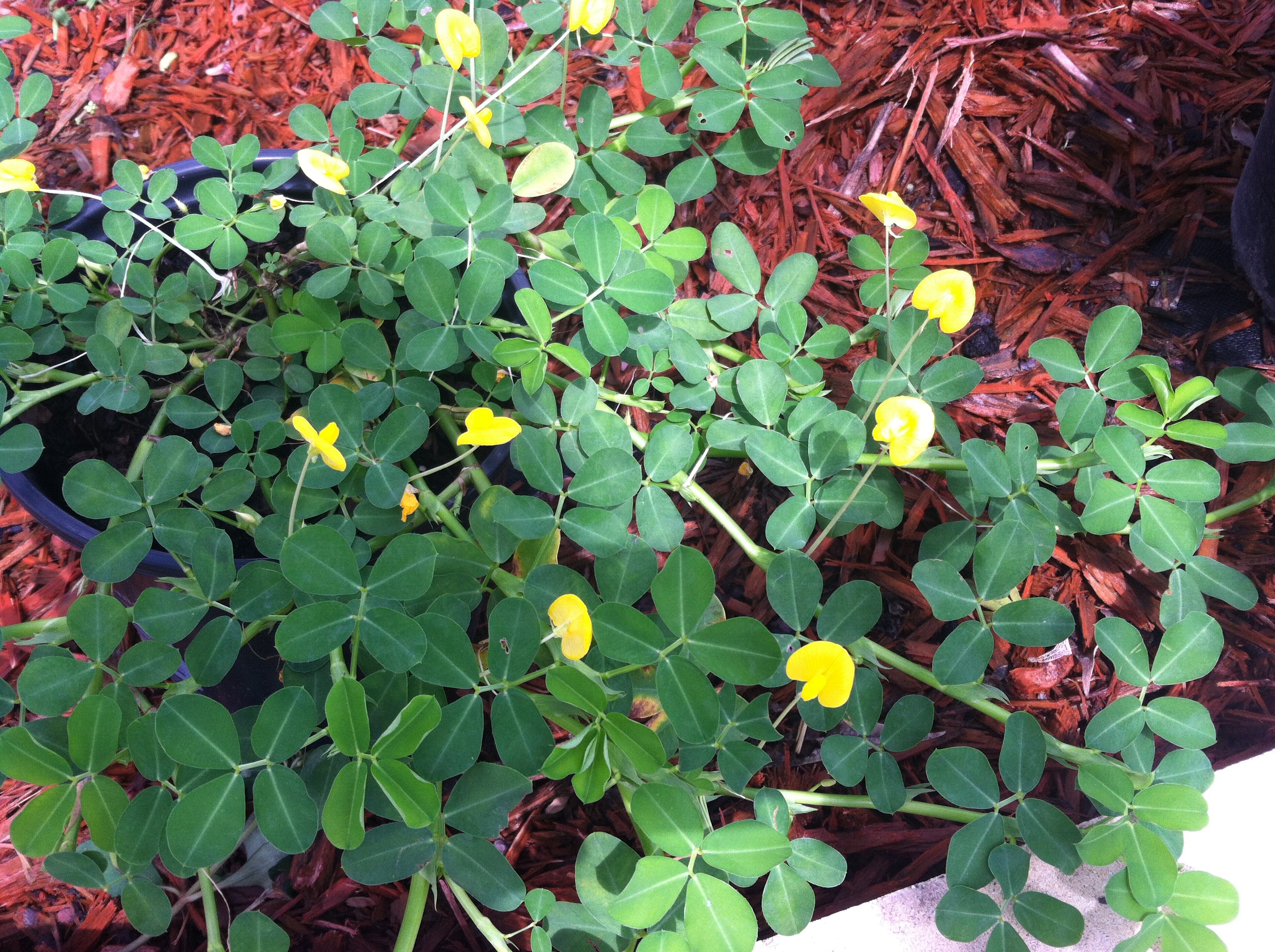 The Good News: Pinto Peanut (arachis Pinto) Is A Great Plant To Use For  Adding Nitrogen To The Soil It Forms A Mat That Suffocates Weeds, And The  Little